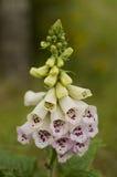 Purpurea f de digitale albiflora - digitale fleurie blanche Photos libres de droits