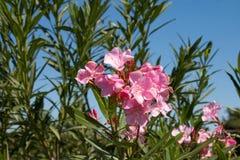 Purpurea kwiaty Fotografia Stock