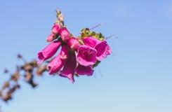 Purpurea púrpura de la digital de la flor de la dedalera Imagen de archivo libre de regalías