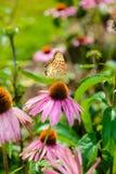 Purpurea púrpura del Echinacea del coneflower una planta popular para el attra Imagen de archivo libre de regalías