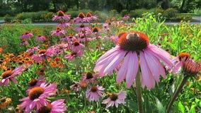 Purpurea púrpura del Echinacea del coneflower y manosear la abeja en jardín almacen de video