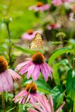 Purpurea pourpre d'Echinacea de coneflower une usine populaire pour l'attra Image libre de droits