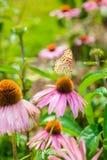 Purpurea pourpre d'Echinacea de coneflower une usine populaire pour l'attra Photo libre de droits