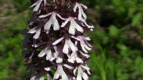 Purpurea roxo bonito selvagem de Orchis da orquídea vídeos de arquivo