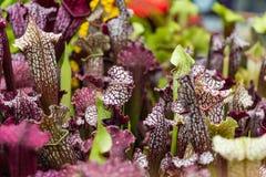 Purpurea Sarracenia Стоковые Изображения