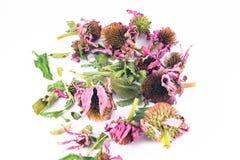 Purpurea sec d'echinacea à l'arrière-plan blanc Photo stock