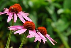 Purpurea van Echinacea royalty-vrije stock foto's
