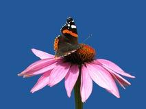 Purpurea van Echinacea Royalty-vrije Stock Afbeelding