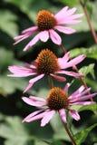 Purpurea van Echinaceae Royalty-vrije Stock Afbeelding