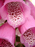 Purpurea van het vingerhoedskruid Royalty-vrije Stock Afbeelding