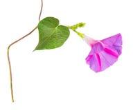 Purpureabloemen van de ochtendglorie Royalty-vrije Stock Foto's
