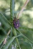 Purpureipennis de Carpocoris Fotos de archivo