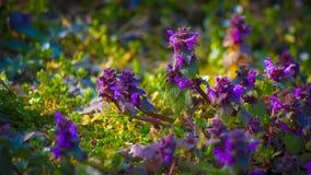 Purpureum do Lamium Imagem de Stock Royalty Free