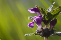 Purpureum Lamium Στοκ φωτογραφία με δικαίωμα ελεύθερης χρήσης