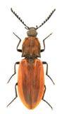 purpureus anostirus Стоковые Изображения