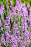 Purpurfärgad äng för blomning med lavendel Arkivfoton