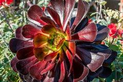 Purpurfärgad Aeoniumväxt Royaltyfria Bilder