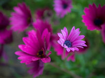 Purpurfärgad afrikansk tusensköna, Osteospermum Ecklonis Royaltyfri Bild