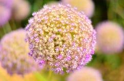 Purpurfärgad Alium blomma royaltyfri foto