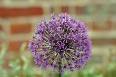 Purpurfärgad allium Royaltyfri Bild