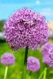 Purpurfärgad allium Royaltyfria Bilder