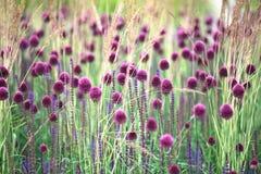 Purpurfärgad Allium och gräs Arkivfoto