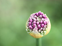 Purpurfärgad Alliumknopp Royaltyfri Fotografi
