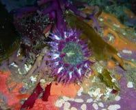 Purpurfärgad anemon på brunalg Royaltyfri Bild