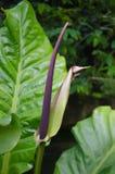 Purpurfärgad Anthurium Royaltyfria Bilder