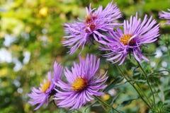 Purpurfärgad aster i blom Royaltyfri Bild