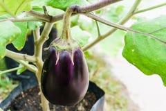 Purpurfärgad aubergine som växer på växten Arkivbilder