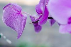 Purpurfärgad bakgrund för blomningorkidéblommor arkivfoto