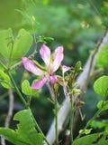 Purpurfärgad Bauhiniablomma som blommar på trädet Royaltyfri Bild