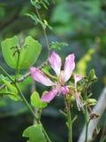 Purpurfärgad Bauhiniablomma som blommar på trädet Arkivfoton