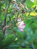 Purpurfärgad Bauhiniablomma som blommar på trädet Royaltyfria Bilder