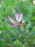 Purpurfärgad Bauhiniablomma som blommar på trädet Fotografering för Bildbyråer