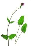 Purpurfärgad betony, gemensamma hedgenettleBetonica officinalis, Stachysofficinalis Royaltyfria Bilder