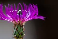 Purpurfärgad blåklint i blom Royaltyfria Foton