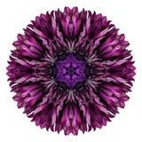Purpurfärgad blåklint Mandala Flower Kaleidoscope Isolated på vit Royaltyfria Bilder