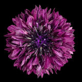 Purpurfärgad blåklintblomma som isoleras på svart bakgrund Royaltyfria Foton