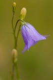 Purpurfärgad blåklockablomma arkivfoto