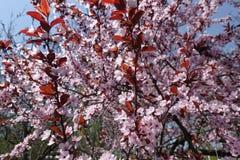 Purpurfärgad bladplommon i blom i vår arkivfoto