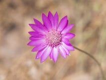Purpurfärgad blomma av årligt evigt eller Immortelle, annuum Xeranthemum, selektiv fokus för makro, grund DOF royaltyfri fotografi