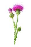 Purpurfärgad blomma av carduusen med den gröna knoppen Royaltyfri Foto
