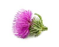 Purpurfärgad blomma av carduusen med den gröna knoppen Arkivbilder