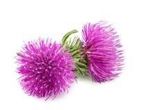 Purpurfärgad blomma av carduusen med den gröna knoppen Fotografering för Bildbyråer