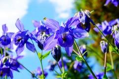 Purpurfärgad blomma av den europeiska aklejan (vulgaris Aquilegia) i sunn Royaltyfri Foto