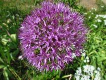 Purpurfärgad blomma av kultiverad trädgårds- vitlök, botanisk känd Allium royaltyfria foton