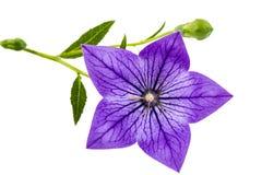 Purpurfärgad blomma av Platycodon (den Platycodon grandiflorusen) eller bellfloen Royaltyfri Foto