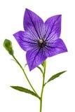 Purpurfärgad blomma av Platycodon (den Platycodon grandiflorusen) eller blåklockor Royaltyfri Fotografi
